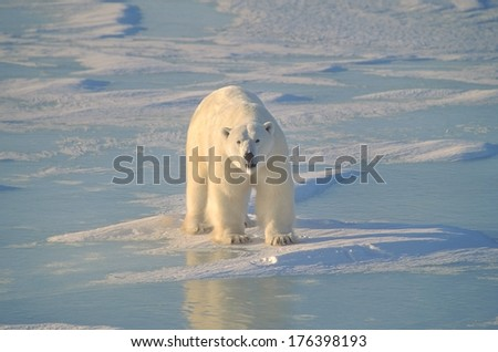 Polar Bear On Ice - stock photo