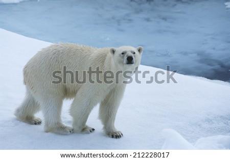 Polar Bear on Ice - stock photo