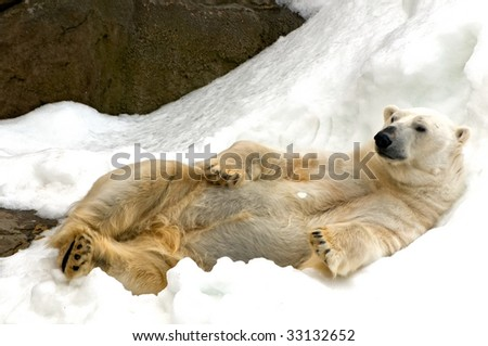 polar bear on the snow - stock photo