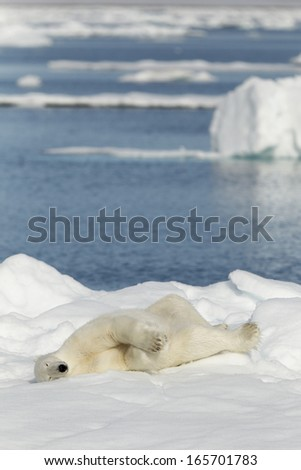 Polar bear photographed in the Svalbard islands, Norway - stock photo