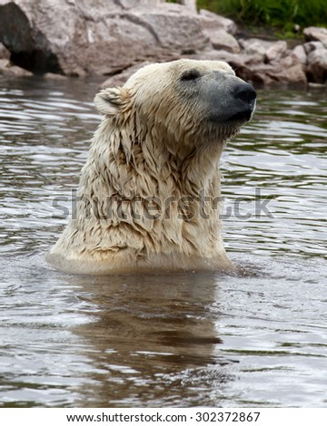 Polar Bear playing and swimming in water - stock photo