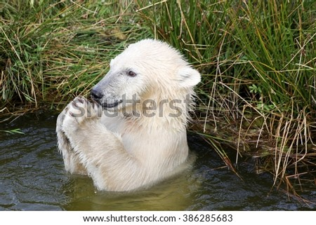 Polar bear playing in the water - stock photo
