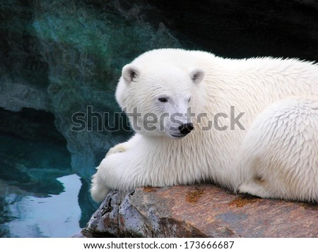 Polar bear resting by the water - stock photo