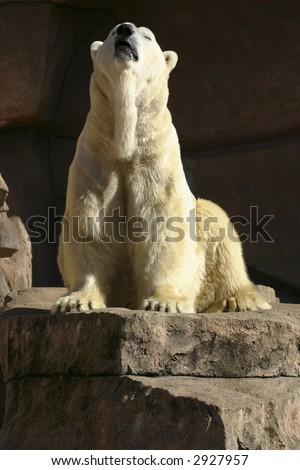 Polar Bear Singing - stock photo