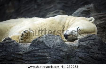 Polar Bear sleeping in Prague zoo, Czech Republic - stock photo