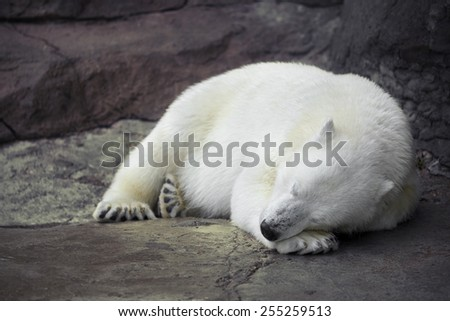 Polar bear sleeping on the concrete floor in the Moscow zoo - stock photo