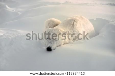 Polar bear sleeping through Arctic storm - stock photo