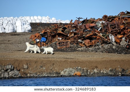 Polar bear survival in Arctic - pollution problems - stock photo