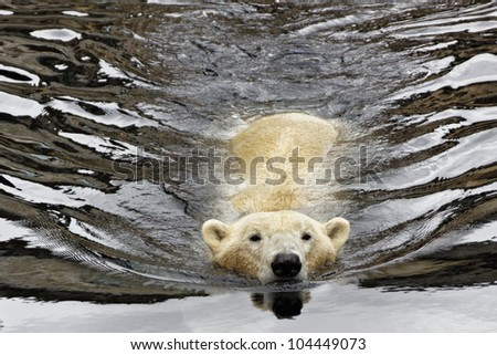 Polar Bear swim in the water - stock photo