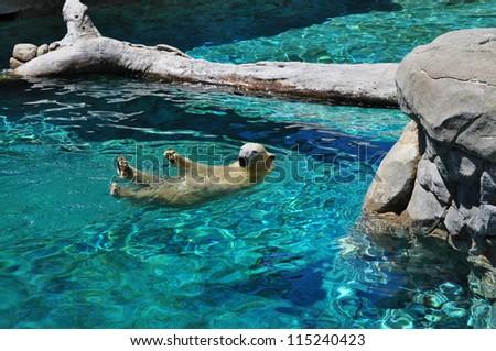 Polar bear swimming in blue water (Ursus maritimus). Polar bear looking at the camera - stock photo