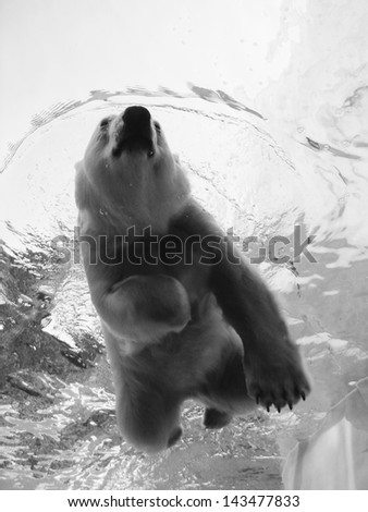 polar bear swimming photographed from below in black and white - stock photo