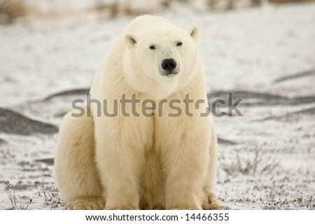 Polar Bear takes a rest - stock photo