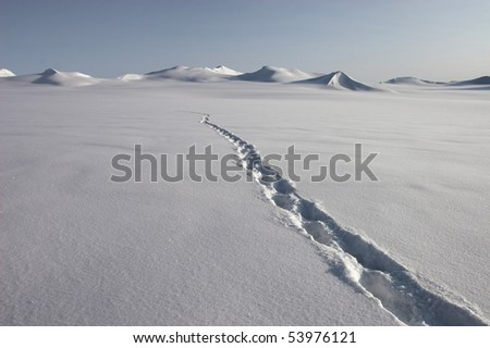Polar bear track on the glacier - stock photo