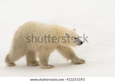 Polar Bear  (Ursus maritimes)- Pretty Cub - stock photo