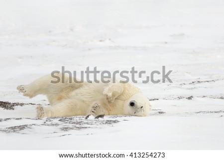 Polar Bear  (Ursus maritimes) - Rolling Bear - stock photo