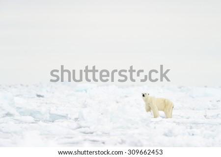 Polar Bear (Ursus maritimus) adult, walking on melting ice floe, floe edge, Baffin Bay, Nunavut, Canada. - stock photo