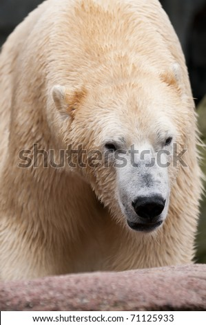 Polar bear (Ursus maritimus) is a bear native largely within the Arctic circle encompassing the Arctic Ocean - stock photo