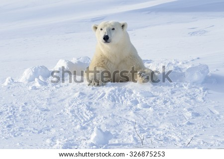 Polar bear (Ursus maritimus) mother coming out freshly opened den with backlight, Wapusk national park, Canada. - stock photo