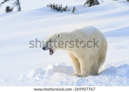 Polar bear (Ursus maritimus) mother standing next to freshly opened den, yawning, Wapusk national park, Canada. - stock photo
