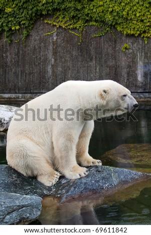 Polar bear (Ursus maritimus) portrait - stock photo