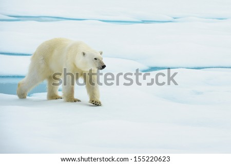 polar bear walking in ice floe in arctic sea near north pole - stock photo