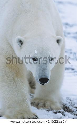 Polar Bear walking in snow Yukon - stock photo