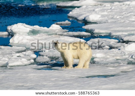 Polar bear walking on a large ice pack in the Arctic Circle, Barentsoya, Svalbard, Norway - stock photo
