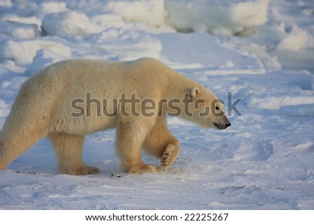 Polar bear walking on the ice pack in Hudson bay - stock photo