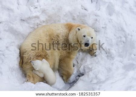 Polar bear with cub. Mother love - stock photo