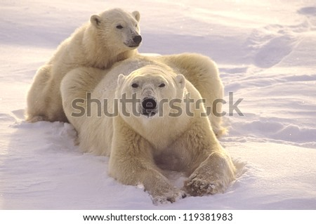 Polar bear with her cub, light snowfall in Canadian Arctic - stock photo