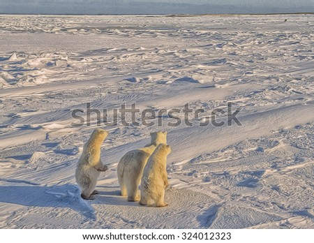 Polar bear with her cubs standing to see oncoming male,photo art - stock photo