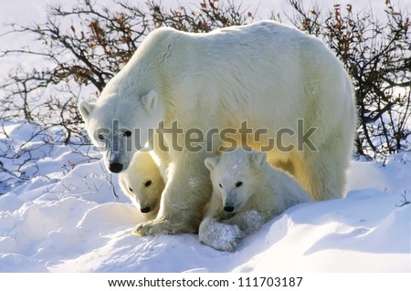 Polar bear with her twin cubs of the year. Canadian Arctic - stock photo