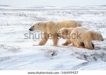 Polar bear with her young cubs on Arctic tundra - stock photo
