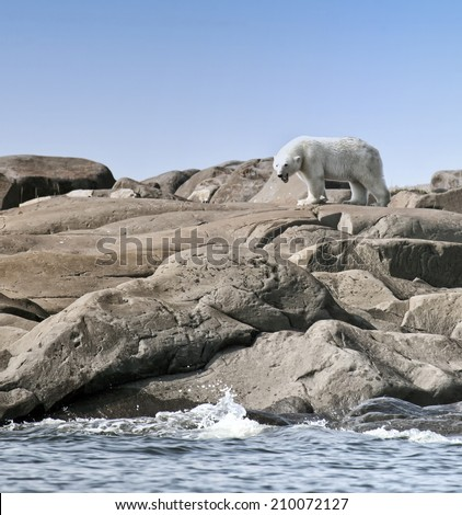 Polar bear with mouth open, yawning.  Summer on the tundra in Churchill, Manitoba, Canada - stock photo