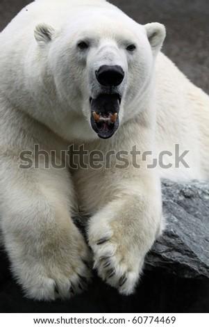 Polar Bear Yawning - stock photo