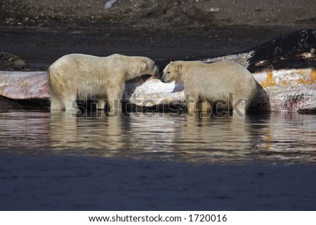 Polar bears feeding on washed up sperm whale - stock photo
