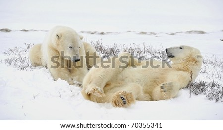 Polar bears have a rest, lying on snow. - stock photo