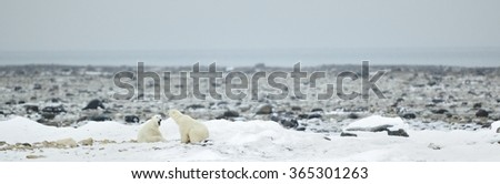 Polar bears in natural environment  - stock photo