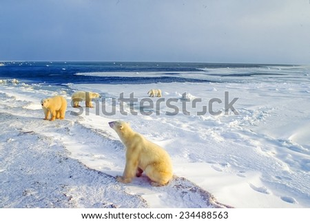 Polar bears on shore awaiting freeze up - stock photo