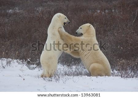 Polar Bears sparring near Churchill - stock photo
