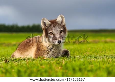 polar fox ( vulpes lagopus ) arctic fox from Iceland, - stock photo