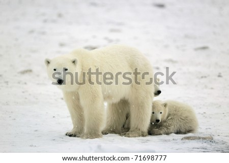 Polar she-bear with two cubs.Tundra. - stock photo