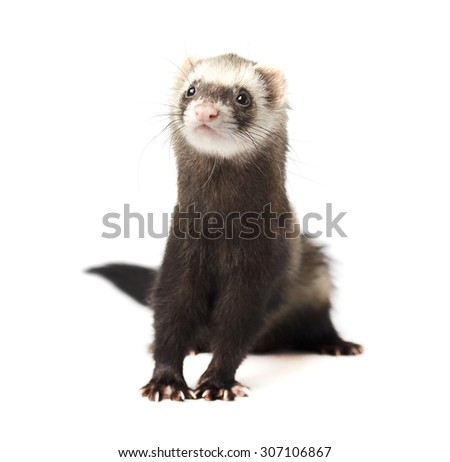 Polecat - stock photo