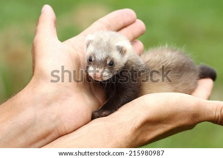 Polecat on hand - stock photo