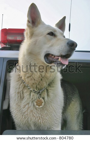 Police dog wearing a badge in Sheriff's vehicle. - stock photo