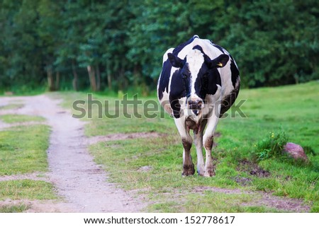 Polish cow going home after a long day of eating grass - stock photo