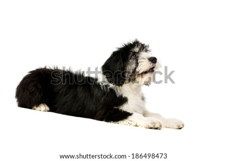 Polish Lowland Sheepdog laid isolated on a white background - stock photo