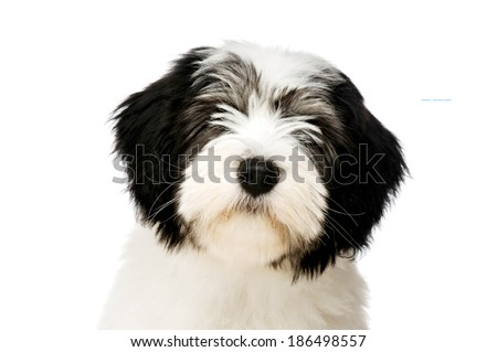 Polish Lowland Sheepdog puppy headshot isolated on a white background - stock photo