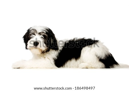 Polish Lowland Sheepdog puppy laid isolated on a white background - stock photo