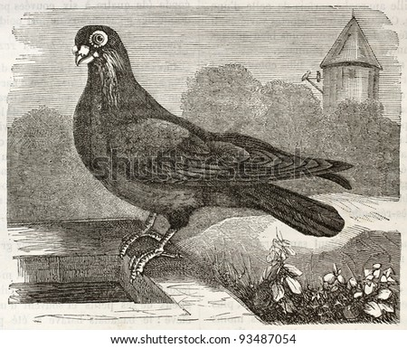 Polish  Pigeon old illustration (Columba livia). Created by Gelibert, published on Merveilles de la Nature, Bailliere et fils, Paris, ca. 1878 - stock photo
